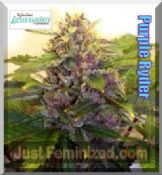 Joint Doctor Purple Ryder Cannabis Marijuana seeds automatic